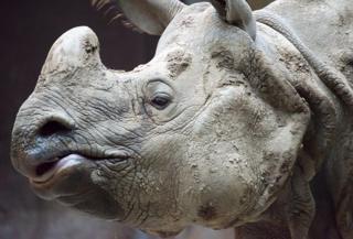 Badak Jawa termasuk ke dalam spesies yang terancam punah