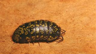 Tesbih böceği