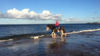 Shire horse having a paddle on Gullane beach