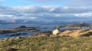 Sheep on a hillside above Oban