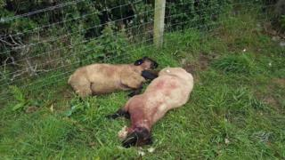 Dead sheep which were attacked in field