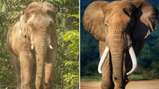 On the left - male Asia elephant standing in the woods Khao yai national park Thailand, and on the right - Elephant approaching in Addo National Park in South Africa