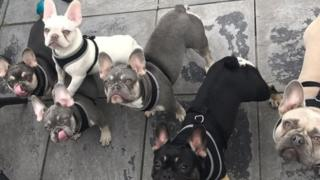 Some of the French bulldogs that were stolen