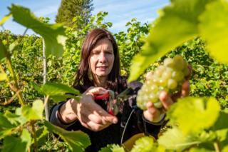 Para relawan mengambil bagian dalam panen anggur tahunan di perkebunan anggur Breaky Bottom di Lewes