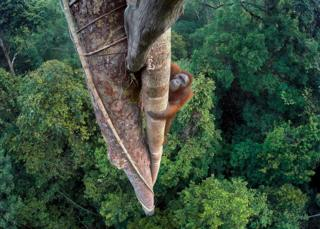 Орангутан Тима Ламана