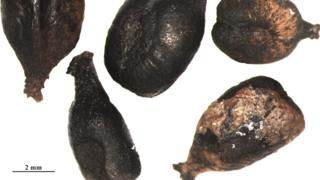 Archaeological grape seeds from France