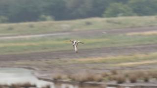 Project Godwit headstarted bird at WWT Steart Marshes