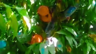 Bogʻda pishgan shaftolilar