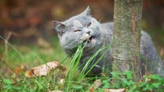 Gato come hierba.