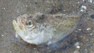 Weever fish on Ayr beach