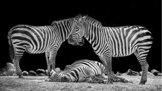 Category C (best black and white picture) 1st prize - Grant's zebras by William Allen