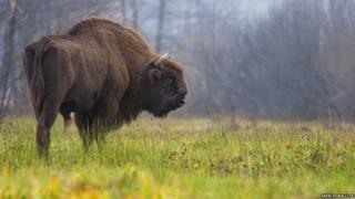 The European bison (Bison bonasus) can weigh as much as a car