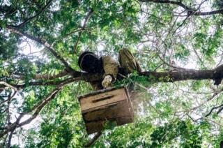 Salum Ali Makame brings down a beehive