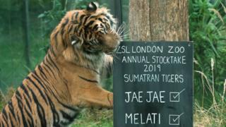 Tiger Stock take
