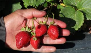 A man holds a cluster of strawberries in his hand.