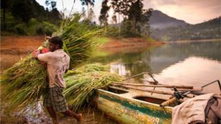 Granjero de Sri Lanka carga caña