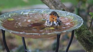 A Robyn in a bird bath