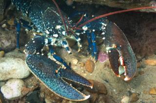 Lobster on Sheringham Snorkel Trail sea bed