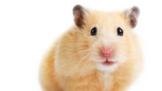 A hamster
