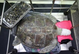 """لاکپشت تایلندی که سکههای گردشگران را میبلعید، با نام """"قلک"""" معروف شده بود"""