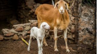 A Damara sheep and its lamb