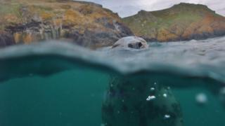 The photo shows a grey seal off the waters of Skomer Island, Pembrokeshire