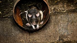 Rat in sewer pipe