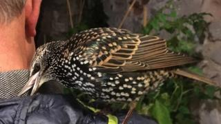 The starling on a persons shoulder