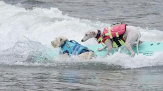 Two dogs surfing
