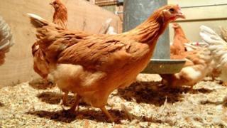 मुर्गियां
