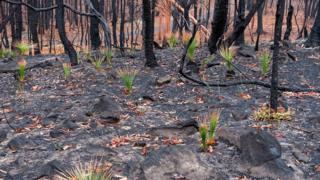 Green grasses have started to re-grow in parts of Kulnura that were on fire three weeks previously