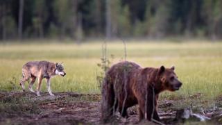 !جنگ بقا؛ گرگها و خرسهای اروپایی در خطر