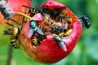 Wasps and flies on apple