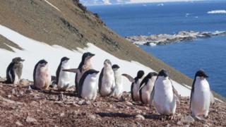 विणीसाठी खडकांवर आलेले पेंग्विन