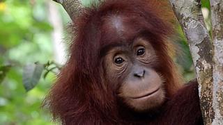 юный орангутан