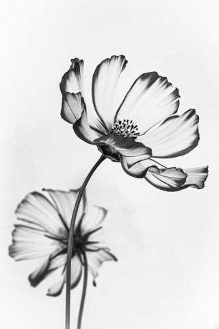 A black and white image of two flowers
