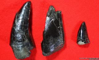 A close-up of the dinosaur teeth
