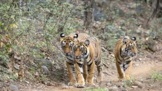Três tigres caminham em meio à vegetação