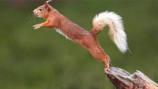 veverica u skoku