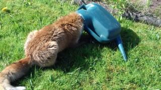 fox with head in watering can