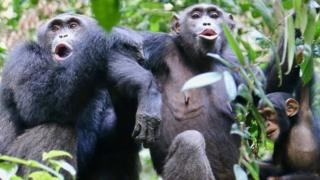 "Chimpanzees in the Tai National Park, Côte d'Ivoire, ""speaking"" to another group nearby"