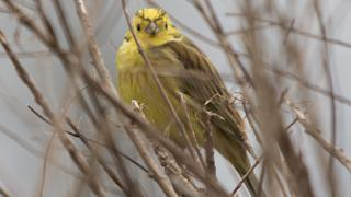 Yellowhammer in the fields near South Newington, Oxfordshire
