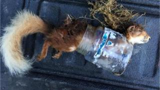 Red squirrel trapped inside a plastic jar