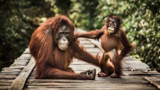Dos orangutanes en un muelle