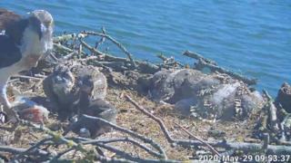 Rutland adlı genç ospreys gösteren web kamerası