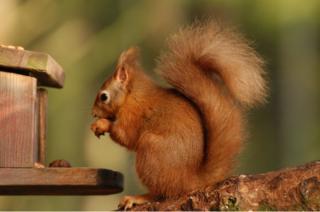 A red squirrel in Carnie Wood, Aberdeen