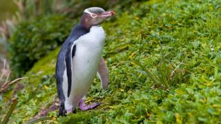 A rare yellow-eyed penguin that won New Zealand's bird of the year award