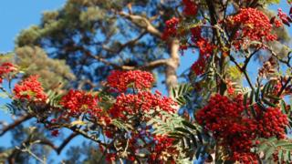 Sorbus in the sunshine (Image: BBC)
