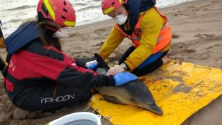 Two dolphins rescued at Angus beach