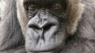 Babydoll, a western lowland gorilla